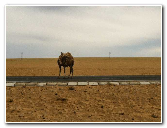 Camel in the Middle of the Roadway